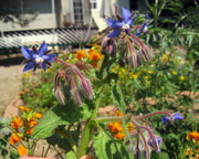 Borage_01jul06